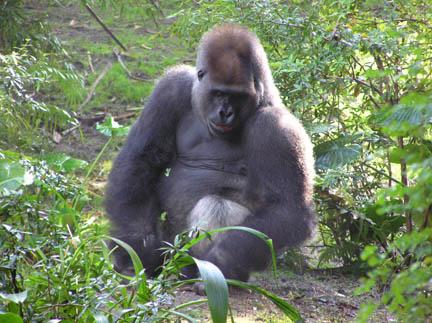 AK Gorilla
