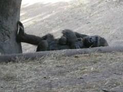 gorilla again