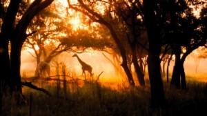 photo of a giraffe at the Animal Kingdom Lodge