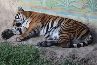 Tiger at Animal Kingdom
