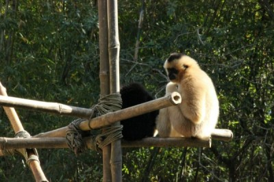 Animal Kingdom Gibbons