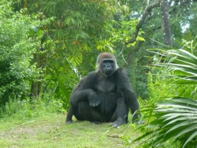 Pangani Gorilla 2