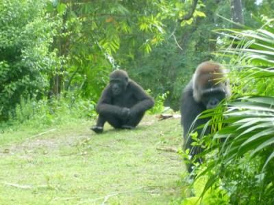 Pangani Gorilla 3