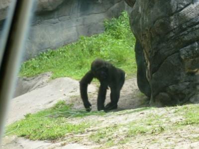Pangani Gorilla 4