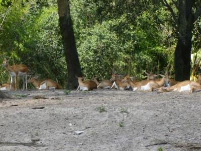 elds deer 2