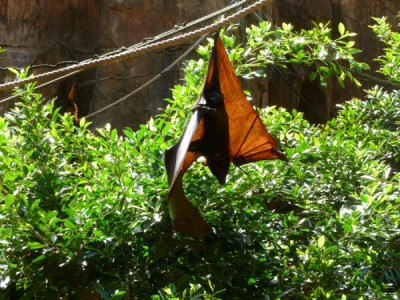 maharajah fruit bat
