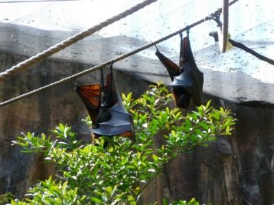 maharajah fruit bats 5