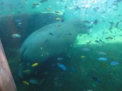 Hippo Maharajah