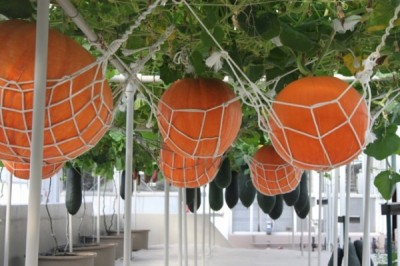 Giant Pumpkins and cucumbers growing without earth