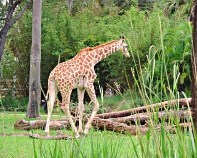Sanna giraffe range