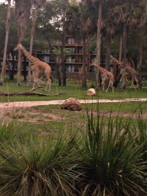 Sanaa 3 giraffes