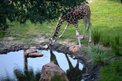 Girafe Drinks