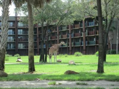 Kidani Giraffe