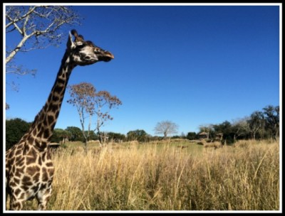 Giraffes on the savannah at Animal Kingdom