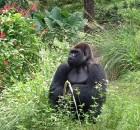 AK Gorilla Pagani