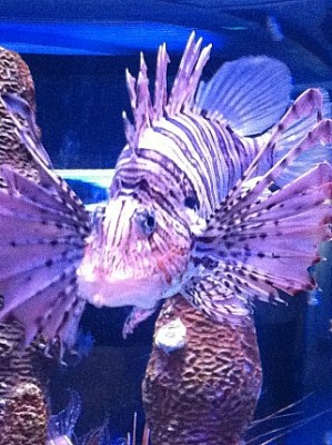 RC Tiger Fish