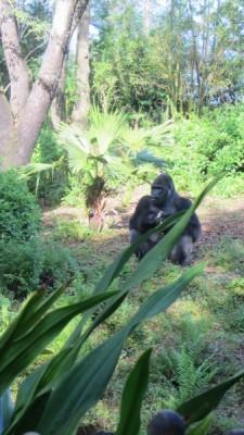 MFL AK Gorilla