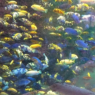 Gorilla Falls - Aquarium
