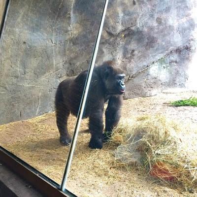 Gorilla Falls Exploration Trail - Gorillas 2
