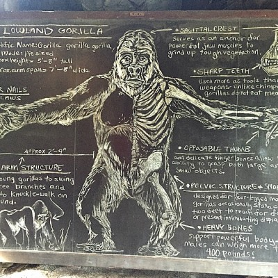 Gorilla Falls - Gorilla Info