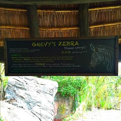 Gorilla Falls - Grevy's Zebra