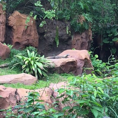 Maharajah - Komodo Dragon