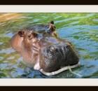 hippo in AK