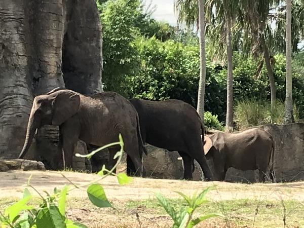 Animal Kingdom elephant herd