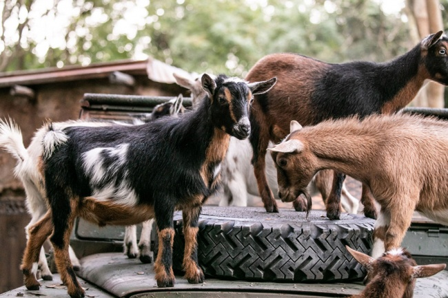 Nigerian Dwarf Goats | Kilimanjaro Safaris
